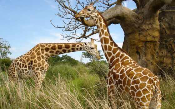 жираф, жирафы Фон № 51203 разрешение 2560x1600