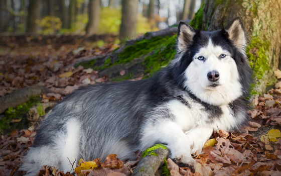 хаски, собака, листья