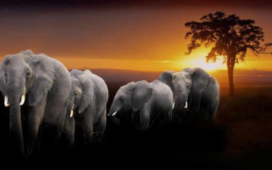slon, слоны, слон, elephants, сайте, windows, нашем, группа, печать, закат, широкоформатные,