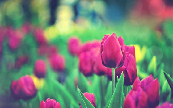 тюльпан, hoa, tulips