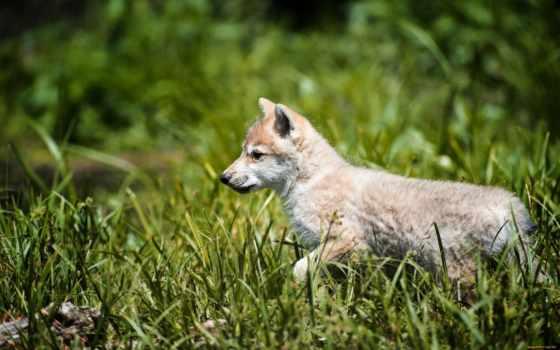волк, zhivotnye, самые, заставки, волки, серый, oboik,