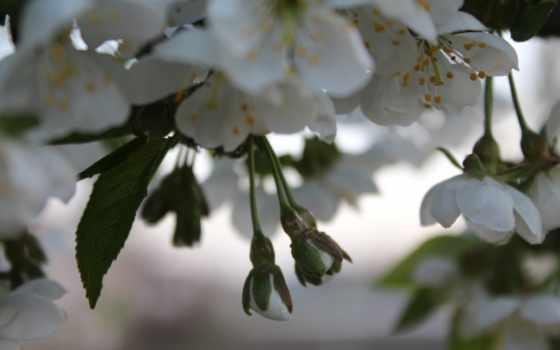 flowers, free, вишни, color,