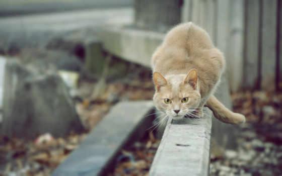кот, прыжку, готовится
