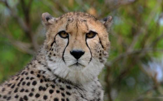 zhivotnye, gepard, хищник, animal, животных, гепард, природе, гепарды, большие,