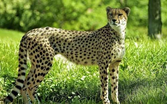 fondos, pantalla, tapety, леопард, animal, jaguar, mobile, gepard, lion,