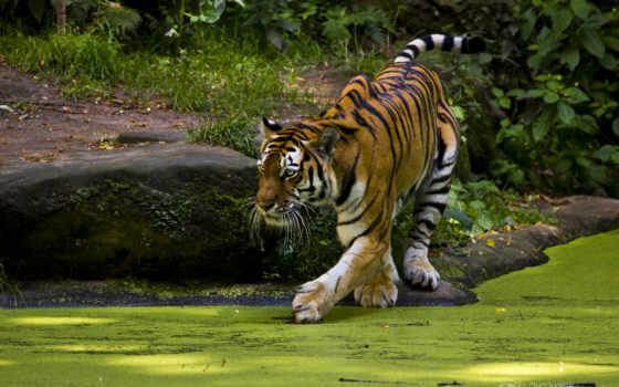 тигр, free, zhivotnye, природа, desktop, фон, тигры, animals,