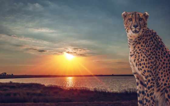 гепард, закат, кот, саванна, дикая,