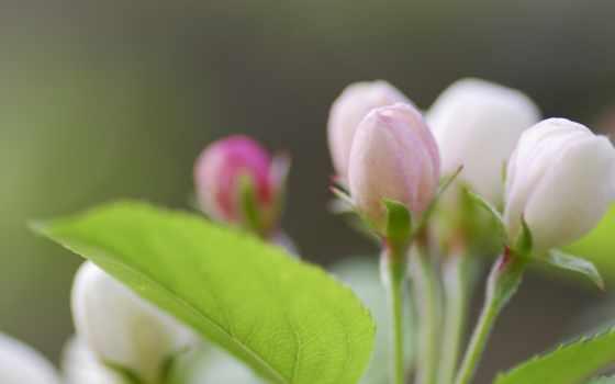 весна, бутоны, макро, природа, категории,