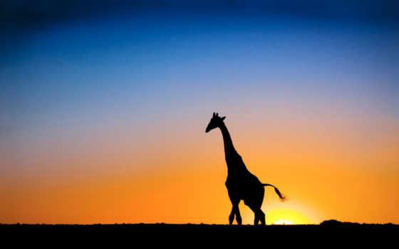 жираф, giraffes, photos