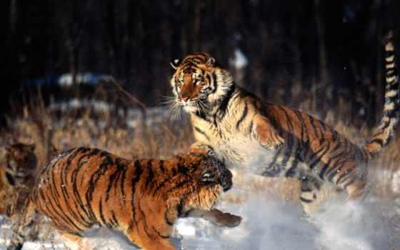 tigres, imágenes, fotos