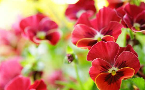 макро, виола, глазки, анютины, цветы,
