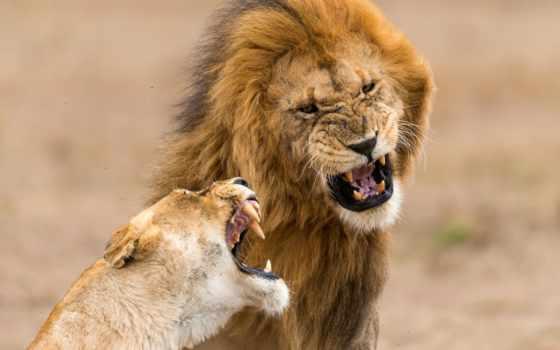 львы, львица, pair, хищники, lion, природа, zhivotnye, злые, smartphone,