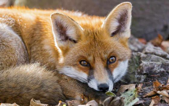 zhivotnye, животных, которые, rosenthal, страница, лисы, pinterest, их, нравятся, natalia,