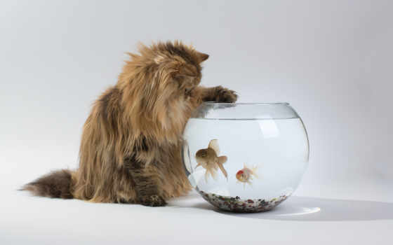 кот, кошки, chinchilla