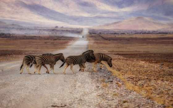 zebra, mais, desktop, marcados, parede, papéis,