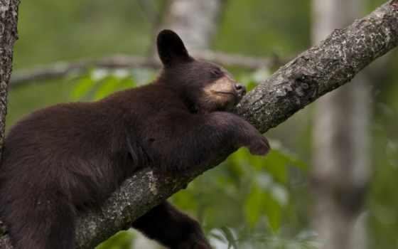 спит, мишка, дерево, панда, леопард, картинка,