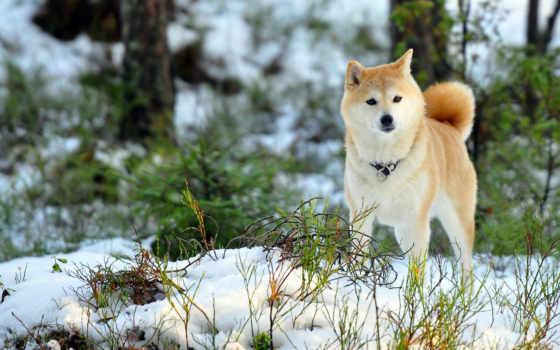 хаски, животных, щенки, собаки, собака, лесу,