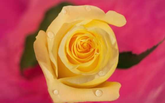 роза, жёлтая, лепестки, капли, жёлтая фон, макро, бутон