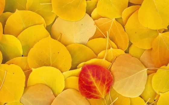 листья, желтые, опавшие