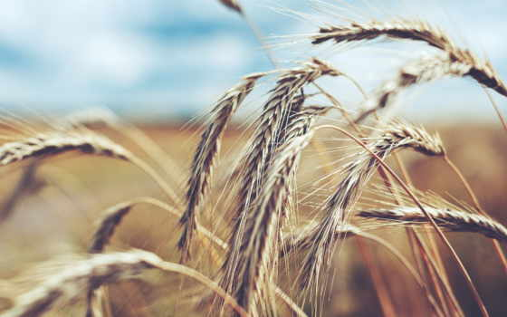 rye, макро, поле, колоски, пшеница, corn,