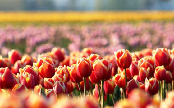 тюльпаны, cvety, весна, красные, размытость, поляна,