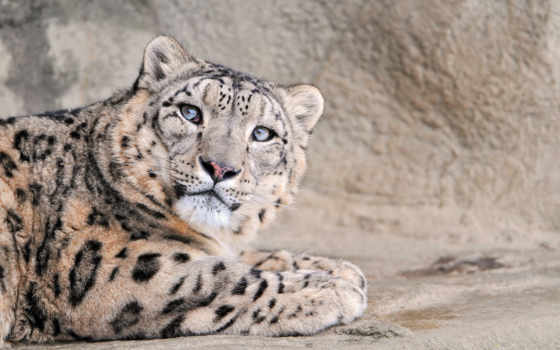 леопард, full, кот, снег, большая, sabatom,