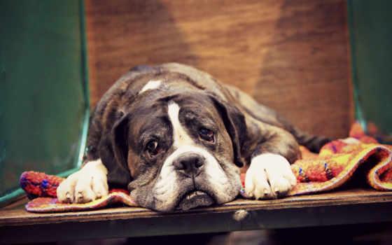 boxer, собака, разных