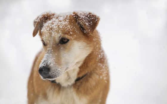 собака, снег, друг