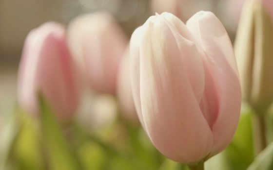 тюльпаны, розовые, нежные, разных, разрешениях, цветы, wu,