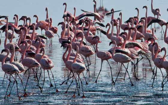 фламинго,