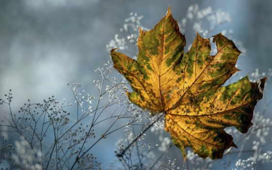 leaf, dry, maple, осень, трава, природа, макро, flowers,