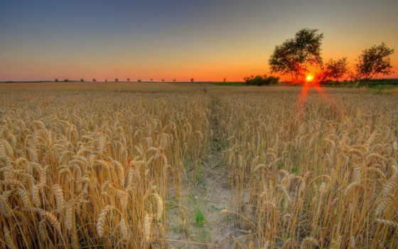 поле, пшеницы, sun, закат, пшеница,