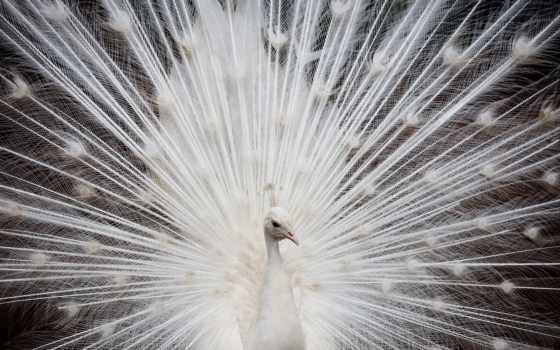 peacock, птицы, голубь