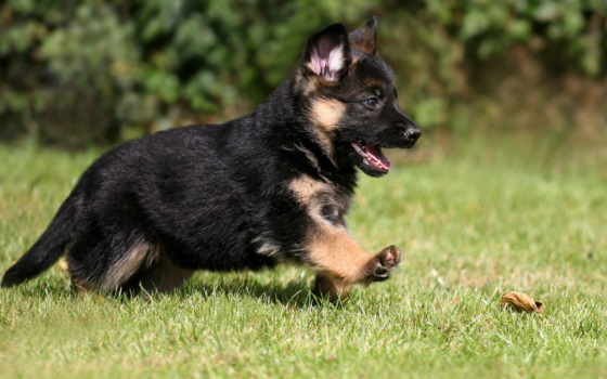 немецкая, овчарка, щенок