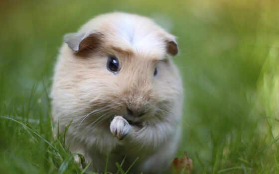 морская, свинья, животные, трава, морские, свинки,