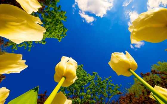 желтые, тюльпаны, неба