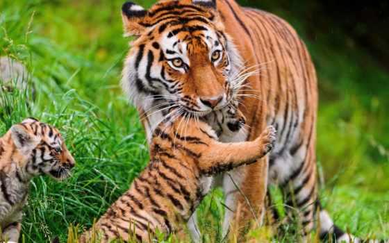 тигр, cubs, animals, уход, трава, this, ноутбук, mobile,