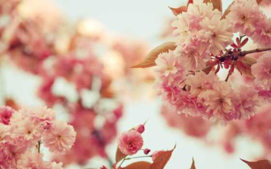 Сакура, cvety, ветки, лепестки, розовые, цветение, небо, дерево,