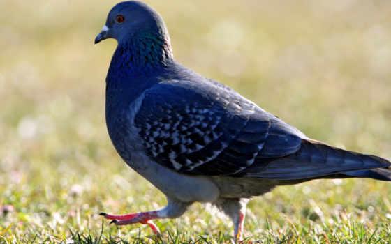 сидит, выгул, разных, голубь, голуби,