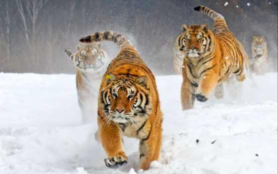 тигры, тигр, посмотрите, яndex, коллекциях, рисунки, коллекцию,