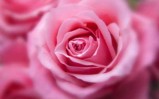 цветы, розовый, роза, бутон, лепесток, makryi