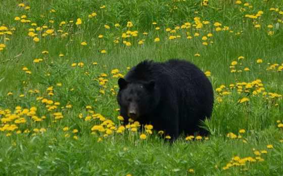медведь, brunatny, цветы