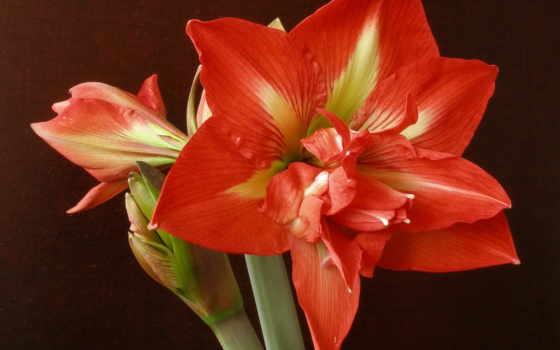 цветы, амариллис, red