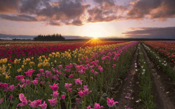 summer, sun, июл, рассвет, утро, лучи, тюльпаны,