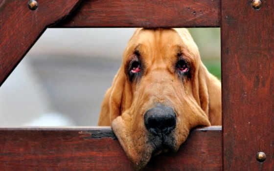 бладхаунд, собака, друг, собак,