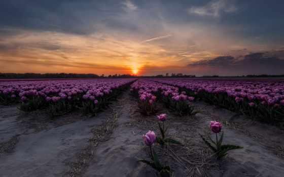 природа, flowers, тюльпаны, sunrises, free, канада,