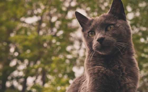 серый, фон, кот