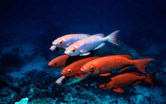 , рыба, подводный, плавник, feeder fish, coral reef fish, Помацентровые, вода, море,