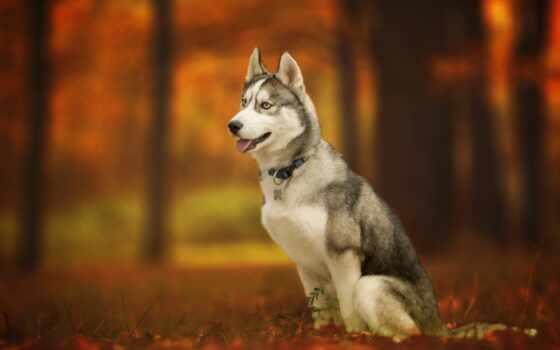 хаска, собака, лес, animal, хаски, осень, fond, sit, фото, clique, создать
