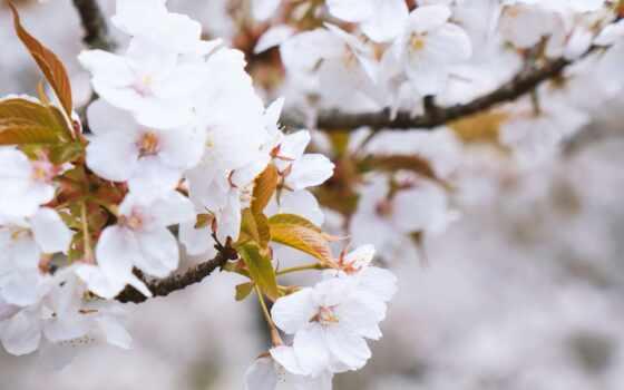 cherry, лепестки, весна, хороший, narrow